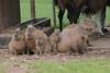 Capybaras in der Monde Sauvage Aywaille (Ulli J.) Tags: zoo belgien belgique belgië belgie belgium wallonien wallonie wallonië vallonien lüttich luik liège aywaille mondesauvage capybara wasserschwein kapivar fodsvin grandcabiaï grandcochondeau grandhydrochère capibara waterzwijn