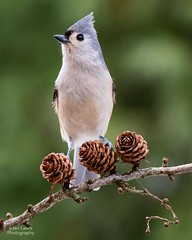 Tufted Titmouse (jklewis4) Tags: backyard birds feeder tufted titmouse grey gray japanese larch
