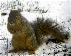Squirrel (joeldinda) Tags: squirrel winter snow frontyard joeldinda