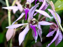 Ancistrochilus rotschildianum (Eerika Schulz) Tags: ancistrochilus rotschildianum berggarten hannover herrenhausen garten herrenhäuser eerika schulz