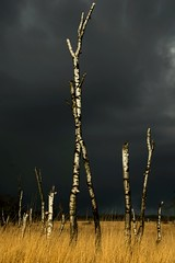 The white trees (marielledevalk) Tags: trees field landscape thunder outdoor clouds weather sky rain nature