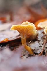 Christmas (mathildepoupin) Tags: mushroom champignon macrographie noël christmas fête forêt balade promenade décorations forest photographie sapin feuilles nature automne winter hiver bolet cèpes chanterelle plaisir végétation année 2016 bois sousbois