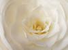 Camelia du Japon (Des Goûts et des Couleurs) Tags: charlottedumas blog dgdc desgoutsetdescouleurs fleur fleurs flowers flower camélia camellia botanics botanique blanc white monochrome paris france wow