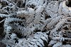 Frosty Fronds (JP Photography74) Tags: frost winter cold ice white uk england staffs outdoors nature ferns bracken