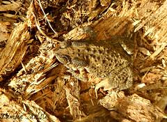 Asian Black-spined Toad (tinlight7) Tags: toad asianblackspinedtoad brown amphibian vietnam catba taxonomy:kingdom=animalia animalia taxonomy:phylum=chordata chordata taxonomy:subphylum=vertebrata vertebrata taxonomy:class=amphibia amphibia taxonomy:order=anura anura taxonomy:family=bufonidae bufonidae taxonomy:genus=duttaphrynus duttaphrynus taxonomy:species=melanostictus taxonomy:binomial=duttaphrynusmelanostictus javanesetoad crapaudmasqué sapocomúnasiático commonsundatoad asiantoad blackspectacledtoad spectacledtoad southeastasiantoad asiancommontoad commonindiantoad duttaphrynusmelanostictus 黑眶蟾蜍 taxonomy:common=javanesetoad taxonomy:common=crapaudmasqué taxonomy:common=sapocomúnasiático taxonomy:common=commonsundatoad taxonomy:common=asiantoad taxonomy:common=blackspectacledtoad taxonomy:common=spectacledtoad taxonomy:common=southeastasiantoad taxonomy:common=asiancommontoad taxonomy:common=commonindiantoad taxonomy:common=黑眶蟾蜍