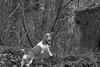 Poser (KelJB) Tags: blackandwhite walk woods pose portrait animal pet dog canine jackrussell terrier