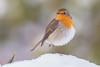 Robin - Roodborstje (Wim Boon (wimzilver)) Tags: wimboon robin sneeuw snow roodborstje canon vogel canonef300mmf4lisusm14x canoneos5dmarkiii