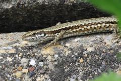 Kertişş  : ) (halukderinöz) Tags: kertenkele lizard animal hayvan novisad sırbistan serbia