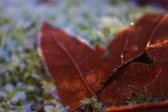 (NebulaBlood) Tags: nature park frozen ice leaf leaves deadleaves deadleaf veins