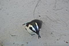 Penguin 15/12/2016 - 2 (s.kosoris) Tags: skosoris nikond3100 d3100 nikon tampa tampazoo animal bird penguin