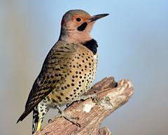 DSC_9588=3Flicker (laurie.mccarty) Tags: birds bird bluesky nikon nature nikond810 wildlife avian animals animal