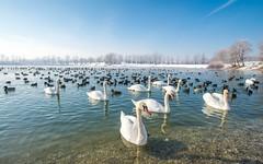 lake Zajarki (091) - swans (Vlado Ferenčić) Tags: animals animalplanet birds swans swansfamily lakes lakezajarki zajarki zaprešić winter croatia hrvatska nikond600 nikkor173528 worldofanimals wow