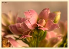 Naturaleza en miniatura (Jose Manuel Cano) Tags: macro naturaleza planta flor plant flower rosa nikond5100 color colour