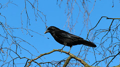 How to Repel Crows (asithmohan29) Tags: httpbitly2iyq8vt httpdailyx592b0k howtorepelcrows animalcontrol bird birdaway birdcontrol birddeterrent birdrepellent birdscarers birdsounds birds birdsofprey creative crows crowscawing doityourself easy hawksounds how howto howtochowtomake making nobirds pestcontrol repelcrows repellent sonicbirdrepellentconceptmart thecityshift tutorial