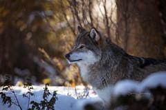 Overview (CecilieSonstebyPhotography) Tags: canon canon5dmarkiii january langedrag markiii norway scandinaviangraywolf animal bokeh portrait snow winter wolf wolves specanimal