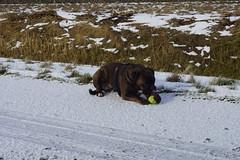 Boxer Marly met bal langs de Betuweroute in Angeren 15-01-2017 (marcelwijers) Tags: boxer marly met bal langs de betuweroute angeren 15012017
