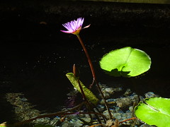 ... to light up your day (peggyhr) Tags: peggyhr waterlily lavender water sunlight green dsc06935 waikiki bud shadows reflections internationalmarketplace carolinasfarmfriends thegalaxy thelooklevel1red niceasitgets~level1 thelooklevel2yellow rainbowofnaturelevel1red 30faves~ thelooklevel3orange thelooklevel4purple thegalaxyhalloffame thelooklevel5green