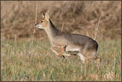 Chinese Water Deer (image 3 of 3) (Full Moon Images) Tags: woodwalton fen greatfen bcn wildlife trust nnr national nature reserve cambridgeshire animal mammal chinese water deer running gallop