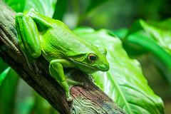 Taronga Zoo (Jeremy Denham) Tags: green frog zoo anamals tarongazoo