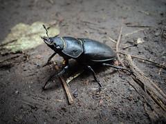 Felbőszült nőstény szarvasbogár (jetiahegyen) Tags: rovar túra túrázás kirándulás tour outdoor hiking visegrádihegység