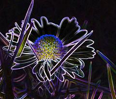 extreme daisy (conall..) Tags: hss sliderssunday manipulated elements manipulatedimage photoshop 15 photoshopelements15 flowerhead