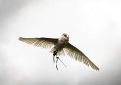 (ScreamingSoul) Tags: sky bird animal scotland wings nikon flight feathers feather safari owl birdshow howlieson