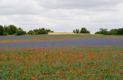 A multicolored field (Teelicht) Tags: field germany landscape deutschland feld poppy landschaft kornblume papaver mohn saxonyanhalt sachsenanhalt altmark platinumheartaward radtourbraunschweigberlin