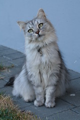 """""""What did you say? I don't have to chase mice anymore?"""" (Vasquezz) Tags: cat katze siberian siberiancat sibirische  fussel forestcat waldkatze supershot sweetfreedom fantasticnature kittysuperstar bestofcats kittyschoice sibirisch sibirischekatze  catmoments alittlebeauty hellopussycat  coth5 vg~catsgallery sunrays5 beautiesbeasts"""