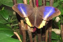 Schmetterling-Edelfalter