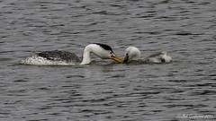 Clark's Grebes (Bob Gunderson) Tags: sanfrancisco california birds northerncalifornia boathouse lakemerced grebes clarksgrebe aechmophorusclarkii canoneos7dmarkii