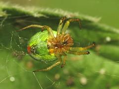 Cucumber Green Orb Spider - Araniella cucurbitina sensu lato