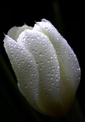 Moon Flower (Wilamoyo) Tags: moon white black nature water rain droplets petals background craters tulip silvery