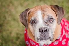 Retrato de inverno (Vinicius_Ldna) Tags: winter brazil portrait dog pet cold love canon 50mm boxer care frio 9792