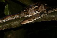 Kinabatangan Wildlife Sanctuary, Borneo, Malaysia