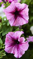 Summer Petunias (wyojones) Tags: summer plant flower purple jackson bloom wyoming np petunias jacksonhole wyojones floweringbasket