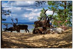 Reinsdyr #2 (Krogen) Tags: summer norway norge sommer norwegen krogen reinsdyr hedmark femunden engerdal olympuse400