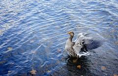 Flying needs practice! (Tigra K) Tags: city travel portrait lake bird london animal garden 2012