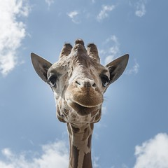 Giraffe up high (US Department of State) Tags: sky face animal outdoors zoo texas head conservation tall giraffe preservation brownsville biodiversity zooanimals gladysporterzoo