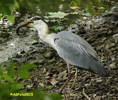 A heron's lunch (1) (andywsx) Tags: heron canon tamron pembrokeshire bosherston 18270 eos7d