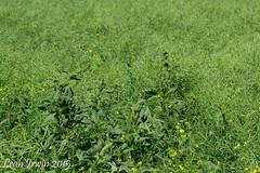 Canola Damage (LeahAIrwin) Tags: canada weeds farming crop damage carman canola entomology mabitoba