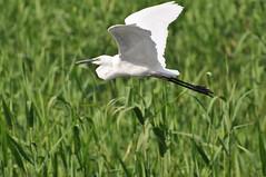 DSC_0044 (popopo_2004) Tags: bird osaka  hirakata   d5000 20130514