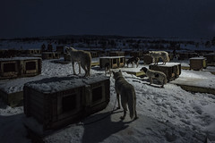 The Wait (Icker_Malabares) Tags: tromsøvillmarksenter kvaløya norge norway alaskanhuskies huskies polarnight arctic
