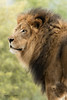 Izu (ToddLahman) Tags: sandiegozoosafaripark safaripark escondido canon7dmkii canon canon100400 lion lions lioncamp mammal animal