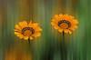 Gazanias (hequebaeza) Tags: gazania rigens gazaniarigens naranja plantas naturaleza vegetación flores flora nikon d5100 nikond5100 greatphotographers hequebaeza