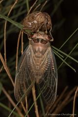 Newly emerged cicada (kasia-aus) Tags: australia jindabyne bug cicada emerging hatching insect large macro moulting nature top wildlife wings