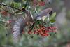 Cedar Waxwings Feeding on Toyon Berries (halladaybill) Tags: cedarwaxwing sanjoaquinwildlifesanctuary toyonberry bombycillacedrorum birds feedingtime breakfast