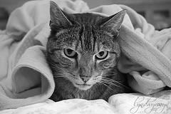 Nigel extra cozy (what rough beast) Tags: cats bw blackwhite katze schwarzweis