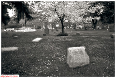 1872's granite and April's blooms (DelioTO) Tags: 4x5 adoxchs25 aph09 architecture autaut blackwhite canada cemetery city f175 historical landscape may object ontario pinhole spring toned