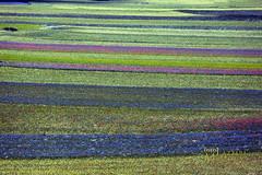 _UM14743amR (Foto Massimo Lazzari) Tags: fioritura lenticchie papaveri fiordaliso fiori