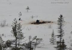 Fisher (Arvo P) Tags: algonquinpark outdoors ontario park nature natural naturallight naturephptpgraphy winter arvopoolar